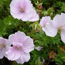 Kakost krvavý 'Apfelblüte' - Geranium sanguineum 'Apfelblüte'