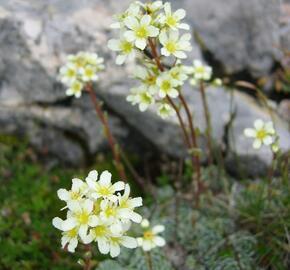 Lomikámen vždyživý (aizoon) - Saxifraga paniculata (aizoon)