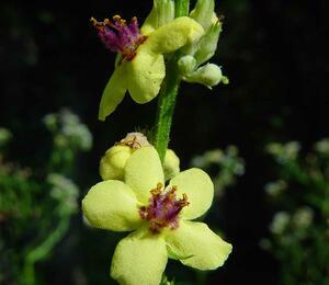 Verbena jižní rakouská - Verbascum chaixii subsp. austriacum