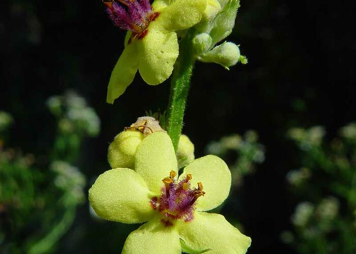 Divizna jižní rakouská - Verbascum chaixii subsp. austriacum