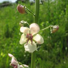 Divizna švábovitá - Verbascum blattaria