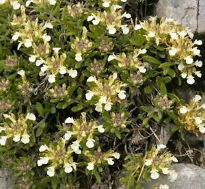 Ožanka horská - Teucrium montanum