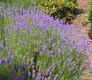 Levandule úzkolistá 'Lavanto Purple' - Lavandula angustifolia 'Lavanto Purple'
