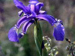 Kosatec žlutofialový - Iris spuria