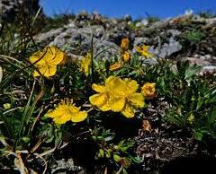 Devaterník skalní - Helianthemum rupifragum