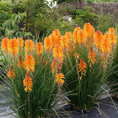 Kleopatřina jehla 'Poco Orange' - Kniphofia uvaria 'Poco Orange'