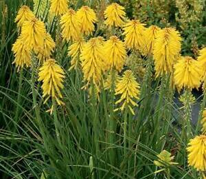 Kleopatřina jehla 'Poco Yellow' - Kniphofia uvaria 'Poco Yellow'