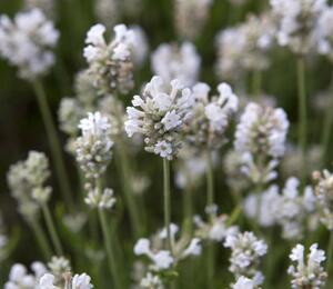 Levandule úzkolistá 'Arctic Snow' - Lavandula angustifolia 'Arctic Snow'