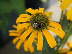 Třapatka nachová 'Skipper Yellow' - Echinacea purpurea 'Skipper Yellow'