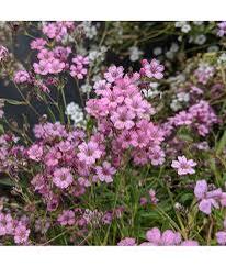 Šater plazivý 'Filou Rose' - Gypsophila repens 'Filou Rose'
