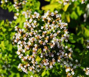 Dobromysl obecná 'Thumbles' - Origanum vulgare 'Thumbles'