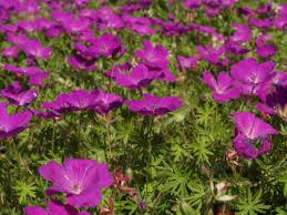 Kakost krvavý 'Elsbeth' - Geranium sanguineum 'Elsbeth'