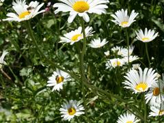 Kopretina bílá - Leucanthemum vulgare