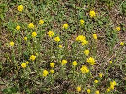 Smil písečný - Helichrysum arenarium