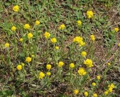 Smil 'County Park Silver' - Helichrysum arenarium
