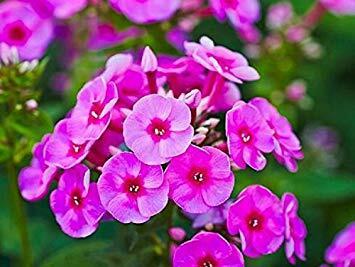 Plamenka latnatá 'Adessa Special Deep Purple' - Phlox paniculata 'Adessa Special Deep Purple'