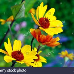 Janeba drsná 'Sommer Nights' - Heliopsis helianthoides var. scabra 'Sommer Nights'