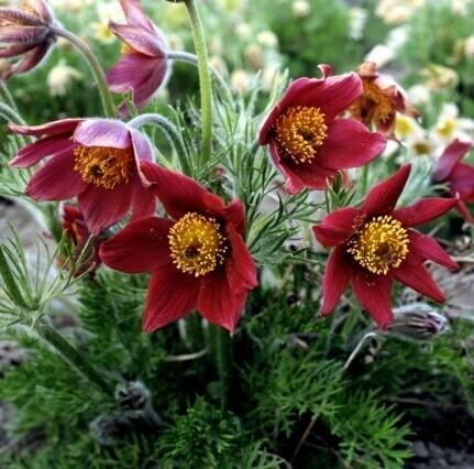 Koniklec obecný 'Bells Red' - Pulsatilla vulgaris 'Bells Red'
