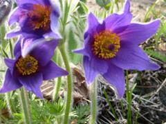 Koniklec obecný 'Bells Violet' - Pulsatilla vulgaris 'Bells Violet'