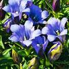 Hořec 'Luis Easy Blue' - Gentiana hybrida 'Luis Easy Blue'