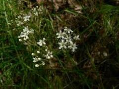 Šater svazčitý - Gypsophila fastigiata