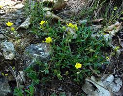 Devaterník šedý - Helianthemum canum