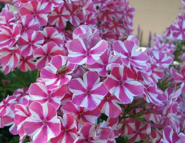 Plamenka latnatá 'Adessa Special Lilac Twist' - Phlox paniculata 'Adessa Special Lilac Twist'