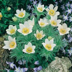 Koniklec obecný 'Bells White' - Pulsatilla vulgaris 'Bells White'