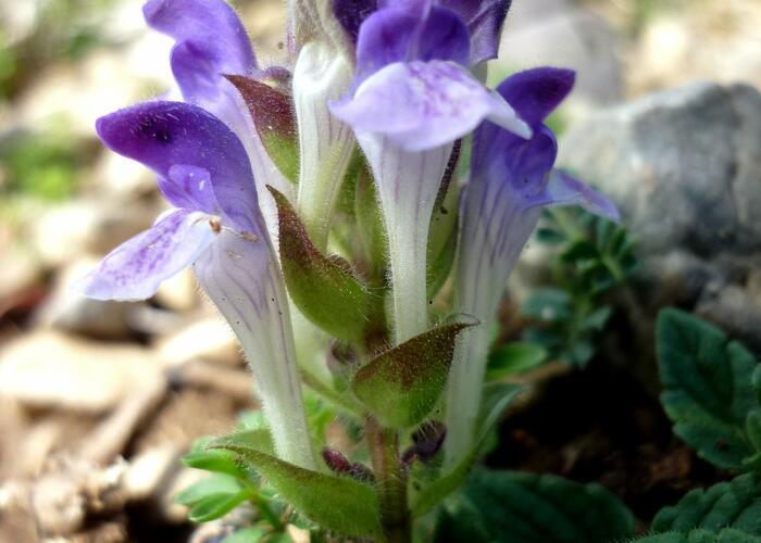 Šišák alpský - Scutellaria alpina