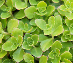 Rozchodník 'Winter Green' - Sedum hybridum 'Winter Green'