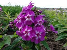 Plamenka latnatá 'Purple Kiss' - Phlox paniculata 'Purple Kiss'
