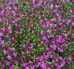 Mateřídouška časná 'Creeping Red' - Thymus praecox 'Creeping Red'