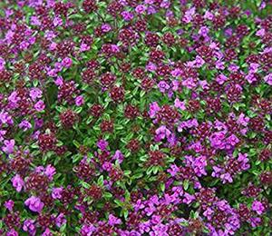 Mateřídouška časná 'Creeping Red' - Thymus praecox 'Creeping Red'