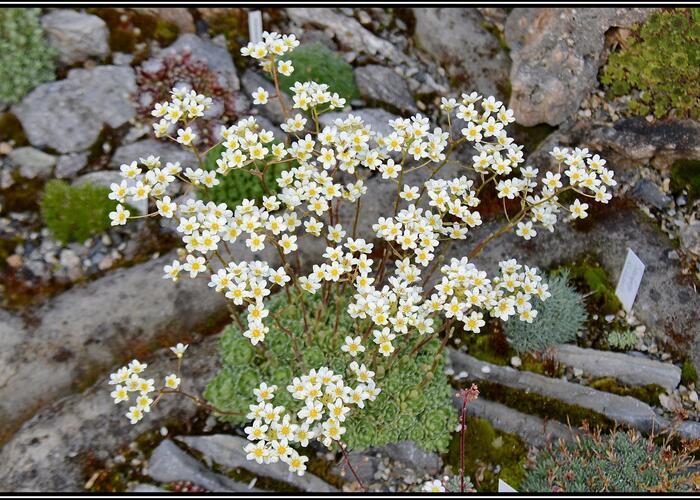Lomikámen vždyživý 'Minor' - Saxifraga paniculata 'Minor'
