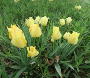 Tulipán botanický batalinii 'Bright Gem' - Tulipa batalinii 'Bright Gem'