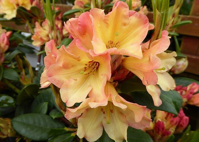 Pěnišník 'Nancy Evans' - Rhododendron (R) 'Nancy Evans'