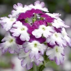 Verbena, sporýš 'Star Dreams Burgundy Wing' - Verbena hybrida 'Star Dreams Burgundy Wing'