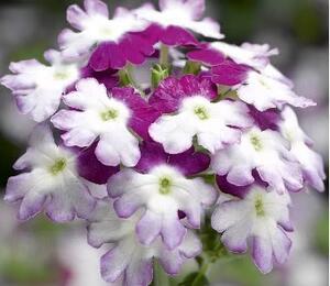 Verbena, sporýš 'Verino Bicolor Purple' - Verbena hybrida 'Verino Bicolor Purple'