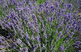 Levandule úzkolistá 'Hidcote' - Lavandula angustifolia 'Hidcote'