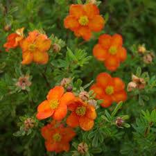 Mochna křovitá 'Bella Sol' - Potentilla fruticosa 'Bella Sol'