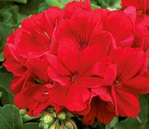 Muškát, pelargonie půdopokryvná 'Summer Lovers Dark Red' - Pelargonium hybridum 'Summer Lovers Dark Red'