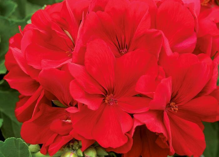 Muškát, pelargonie půdopokryvná 'Summer Lovers Dark Red' - Pelargonium hybridum 'Summer Lovers Dark Red'