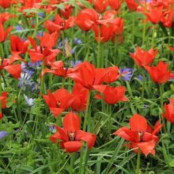 Tulipán botanický linifolia - Tulipa linifolia