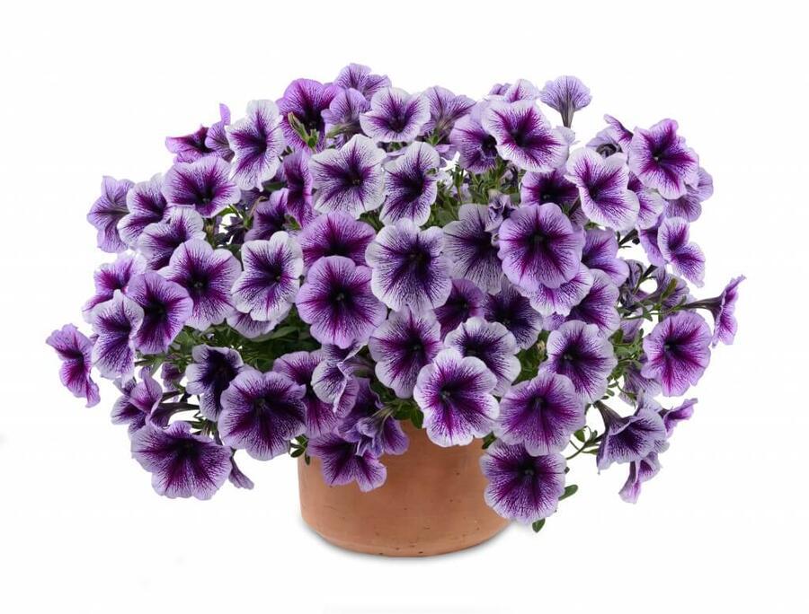 Petúnie 'Ray Purple Vein' - Petunia hybrida 'Ray Purple Vein'