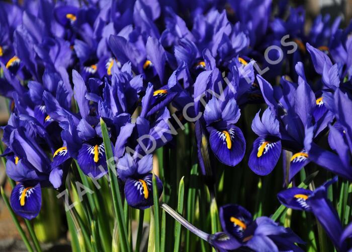 Kosatec síťkovaný 'Harmony' - Iris reticulata 'Harmony'