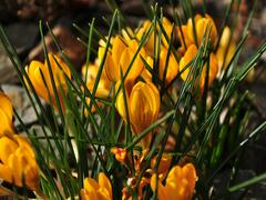 Krokus, šafrán zlatý 'Goldilocks' - Crocus chrysanthus 'Goldilocks'