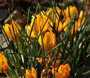 Krokus, šafrán zlatý 'Goldilocks' - Crocus chrysanthus 'Goldilocks'