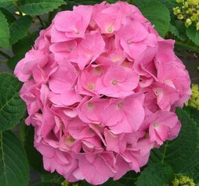 Hortenzie velkolistá 'Rosita' - Hydrangea macrophylla 'Rosita'