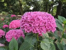 Hortenzie velkolistá 'Tovelit' - Hydrangea macrophylla 'Tovelit'