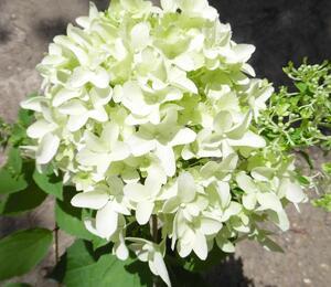 Hortenzie latnatá 'Skyfall' - Hydrangea paniculata 'Skyfall'